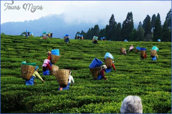 assam tea gardens Sightseeing and Tourism in Guwahati