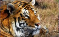Indian-Tiger-shoor-safaris-India-1024x723.jpg