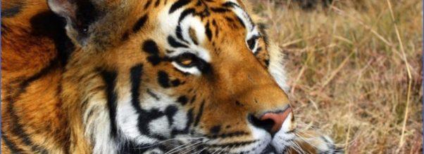 Indian-Tiger-shoor-safaris-India-1024x723.jpg