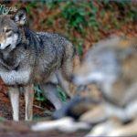 Red-Wolves.jpg