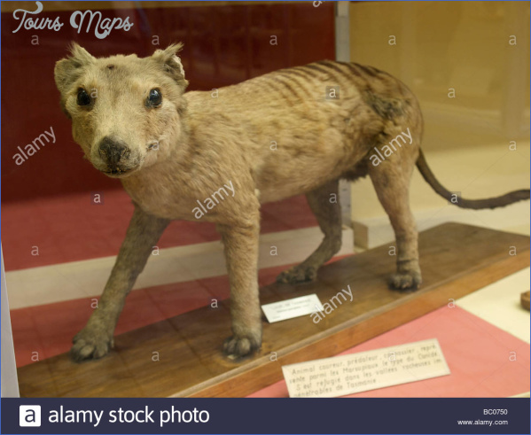stuffed-tasmanian-wolf-tasmanian-tiger-specimen-in-a-museum-in-luik-BC0750.jpg