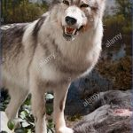 wolf-in-museum-display-hunebedcentrum-visitor-centre-borger-drenthe-BF313R.jpg