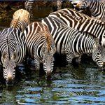 1 slide zebra pano 150x150 Africa Safaris, and travel   Botswana Zimbabwe Zambia
