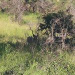 a cobra under my table kruger park south africa 09 17 150x150 Kruger Park South Africa