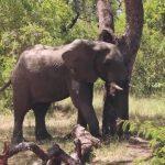 a cobra under my table kruger park south africa 09 19 150x150 Kruger Park South Africa