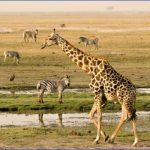 africa botswana chobe riverfront giraffe and zebra1 1 150x150 Africa Safaris, and travel   Botswana Zimbabwe Zambia