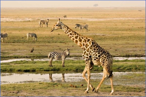 africa botswana chobe riverfront giraffe and zebra1 1 Africa Safaris, and travel   Botswana Zimbabwe Zambia