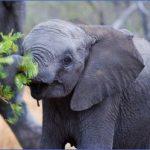 africa south africaahorizontalcroppedcolourimageofanafricanelephantcalfbrowsingongreenleaves12 150x150 Africa Safaris, and travel   Botswana Zimbabwe Zambia
