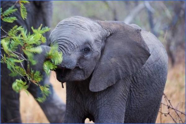 africa south africaahorizontalcroppedcolourimageofanafricanelephantcalfbrowsingongreenleaves12 Africa Safaris, and travel   Botswana Zimbabwe Zambia