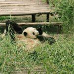baby panda selfies chengdu 72 hour challenge chengduchina 13 150x150 Baby Panda Selfies Chengdu 72 Hour Challenge Chengdu China