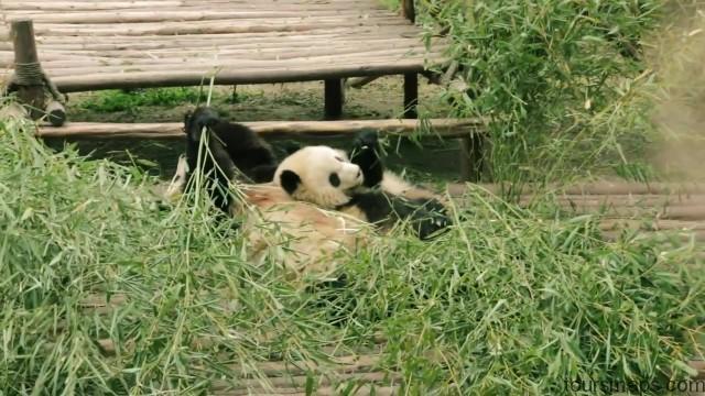 baby panda selfies chengdu 72 hour challenge chengduchina 13 Baby Panda Selfies Chengdu 72 Hour Challenge Chengdu China