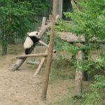 baby panda selfies chengdu 72 hour challenge chengduchina 15 150x150 Baby Panda Selfies Chengdu 72 Hour Challenge Chengdu China