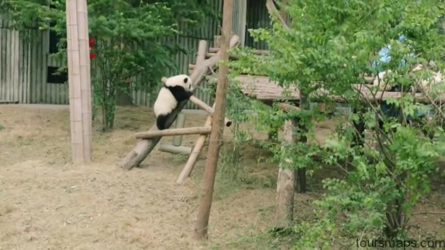 baby panda selfies chengdu 72 hour challenge chengduchina 15 Baby Panda Selfies Chengdu 72 Hour Challenge Chengdu China