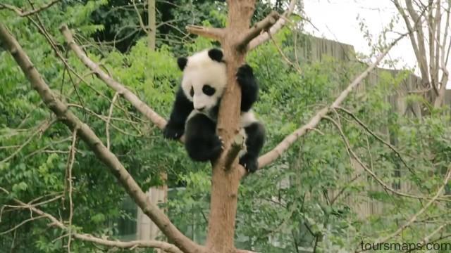 baby panda selfies chengdu 72 hour challenge chengduchina 16 Baby Panda Selfies Chengdu 72 Hour Challenge Chengdu China