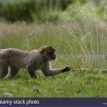 barbary macaques at blair drummond safari park near stirling enjoy gdp3ar 150x150 THUNDERSTORMS And NIGHT SAFARI