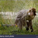 barbary macaques at blair drummond safari park near stirling enjoy gdp3by 150x150 THUNDERSTORMS And NIGHT SAFARI