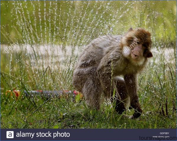 barbary macaques at blair drummond safari park near stirling enjoy gdp3by THUNDERSTORMS And NIGHT SAFARI