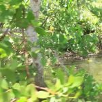 crocodile lagoons cape tribulation australia 15 150x150 Cape Tribulation Australia