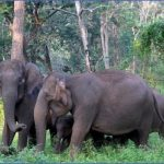 elephants at nagarhole national park 07 150x150 Rideem Elephants   Luang Prabang Laos