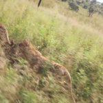 lion walks tiger feedings south africa 04 150x150 LION WALKS TIGER FEEDINGS South Africa