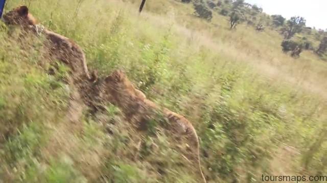lion walks tiger feedings south africa 04 LION WALKS TIGER FEEDINGS South Africa