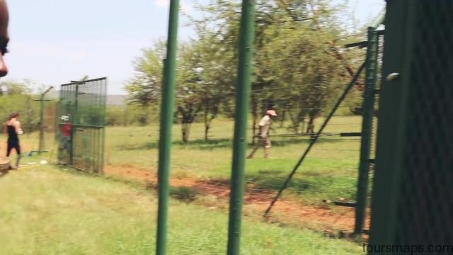 lion walks tiger feedings south africa 09 LION WALKS TIGER FEEDINGS South Africa