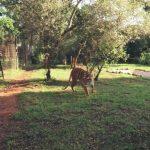 lion walks tiger feedings south africa 21 150x150 LION WALKS TIGER FEEDINGS South Africa