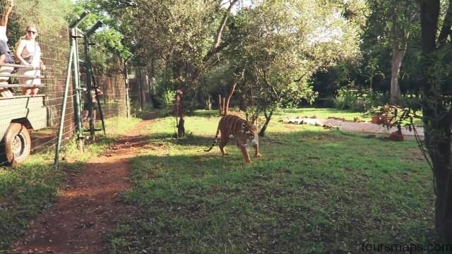 lion walks tiger feedings south africa 21 LION WALKS TIGER FEEDINGS South Africa