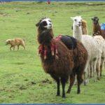 llama trek peru 150x150 LAMA RIDES Peru