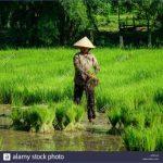 mekong delta vietnam sep 2 2017 a woman working on rice field in mekong krpjj3 150x150 The Mighty Mekong   Mekong Delta Vietnam