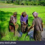 mekong delta vietnam sep 2 2017 farmers working on rice field in mekong krpjm8 150x150 The Mighty Mekong   Mekong Delta Vietnam