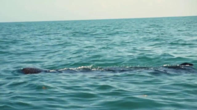 whale sharks cancun mexico 14 WHALE SHARKS Cancun Mexico