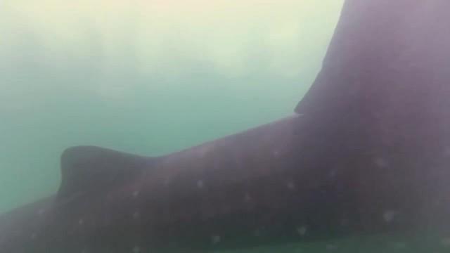 whale sharks cancun mexico 16 WHALE SHARKS Cancun Mexico