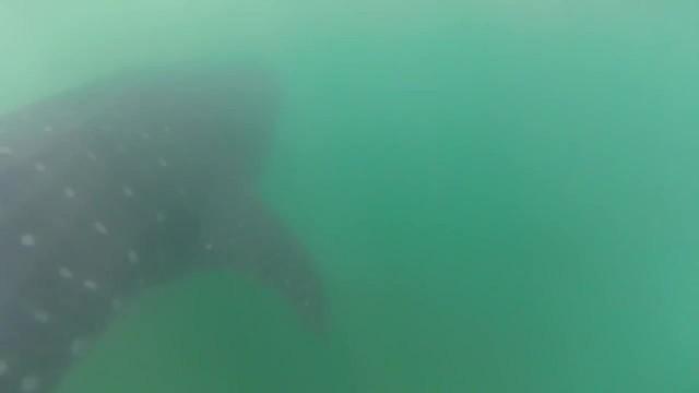 whale sharks cancun mexico 18 WHALE SHARKS Cancun Mexico