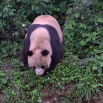 adorable baby pandas rolling 06 150x150 ADORABLE BABY PANDAS ROLLING