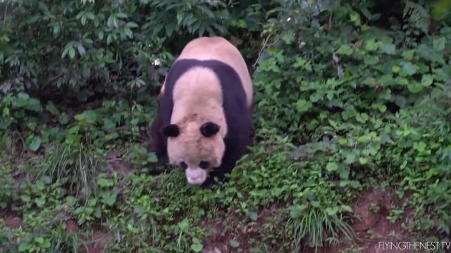 adorable baby pandas rolling 06 ADORABLE BABY PANDAS ROLLING