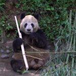 adorable baby pandas rolling 17 150x150 ADORABLE BABY PANDAS ROLLING