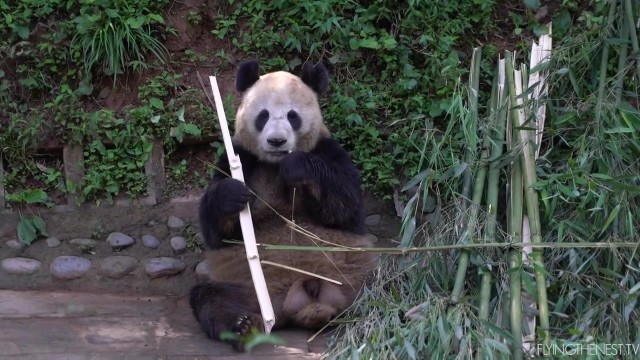 adorable baby pandas rolling 17 ADORABLE BABY PANDAS ROLLING
