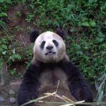 adorable baby pandas rolling 19 150x150 ADORABLE BABY PANDAS ROLLING