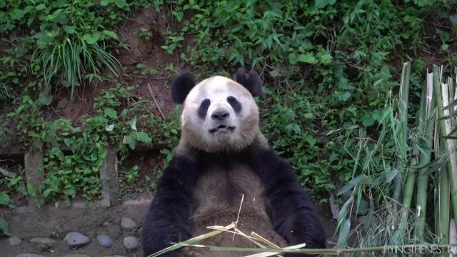 adorable baby pandas rolling 19 ADORABLE BABY PANDAS ROLLING