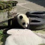 adorable baby pandas rolling 24 150x150 ADORABLE BABY PANDAS ROLLING