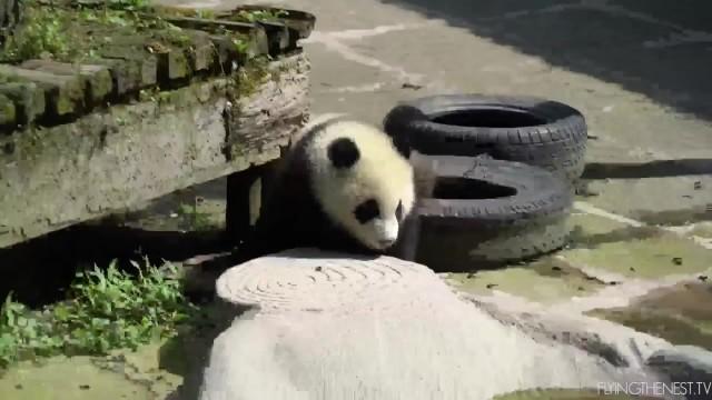 adorable baby pandas rolling 24 ADORABLE BABY PANDAS ROLLING