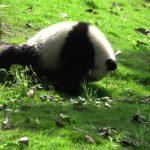 adorable baby pandas rolling 26 150x150 ADORABLE BABY PANDAS ROLLING