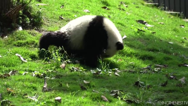 adorable baby pandas rolling 26 ADORABLE BABY PANDAS ROLLING