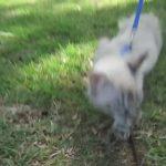 cat loves going for walks 11 150x150 Cat Loves Going For Walks