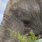 dangerously close to elephants 03 150x150 Dangerously Close to Elephants