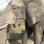 dangerously close to elephants 35 150x150 Dangerously Close to Elephants