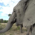 dangerously close to elephants 37 150x150 Dangerously Close to Elephants