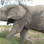 dangerously close to elephants 40 150x150 Dangerously Close to Elephants