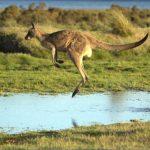 eating kangaroo with aboriginals travel australia  0 150x150 Eating Kangaroo with Aboriginals   Travel Australia